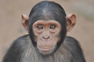 Lo scimpanzé Rambo è uno dei casi di cui si sta occupando il Jane Goodall Institute Italia e per il suo sostentamento sta effettuando una campagna raccolta fondi. Rambo è stato catturato dai bracconieri che dopo aver sterminato la sua famiglia lo hanno destinato ad essere venduto come carne. In Congo lo scimpanzé è stato salvato da una coppia di volontari italiani e trasferito al Santuario Lwiro dove è attualmente ospitato