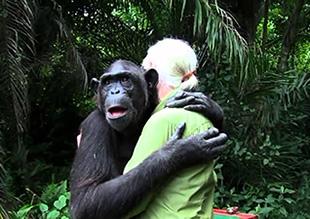 La scimpanzè Wounda è arrivata al Jane Goodall Institute del Congo in fin di vita a causa dell'uccisione della madre per mano dei bracconieri. Dopo la riabilitazione è stata rimessa in libertà nell'isola di Tchindzoulou. Questo è il suo commovente abbraccio a Jane Goodall nel momento della sua liberazione