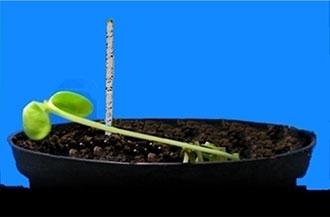 L'esperimento del viticcio germogliato da un seme di fagiolo, effettuato dal LINV dell'Università di Firenze, dimostra come sia in grado di trovare da solo il tronchetto su cui avvitarsi per crescere. Fenomeno che potrebbe indurre a pensare che le piante abbiano facoltà empatiche con l'ambiente, di natura extrasensoriale