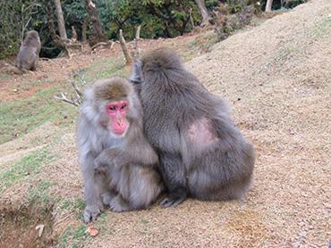 I macachi di Iwatayama Park sembrano stressati dalla presenza dei visitatori