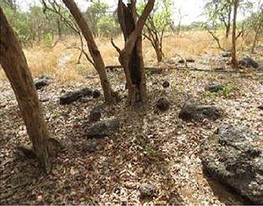 Un des lieux considérés comme sacrés par les chimpanzés d'Afrique centrale où l'on dépose des pierres dans un but rituel évident