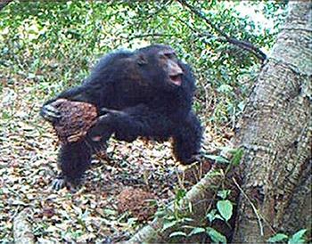 Un chimpanzé qui est en train de réaliser une sorte de litanie au moment où il dépose sa pierre dans la cavité du tronc de l'arbre