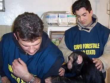 Uno scimpanzé sequestrato si affida fiducioso ai suoi salvatori