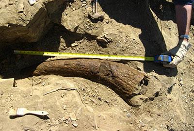 Il corno di Triceratopo rinvenuto negli USA che ha mostrato una datazione di ben 33.500 anni di età. Prova inequivocabile di una possibile convivenza tra uomini e sauri