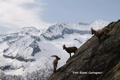 Stambecchi della Val d'Ala