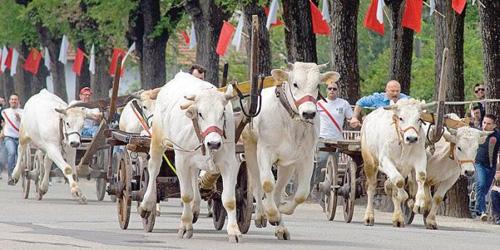 La corsa dei buoi di Caresana (Vercelli) ogni anno contestata agli animalisti per le condizioni di stress e fatica a cui gli animali sono costretti