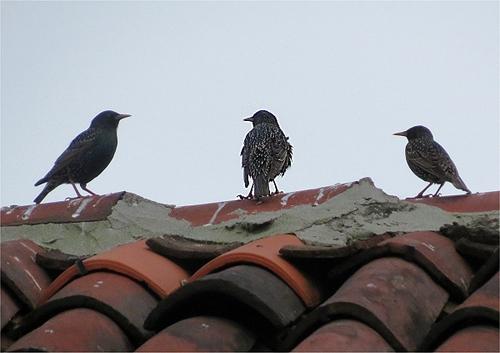 L'uccello ''celebrante'' sta invitando a raccolta altri volatili con il suo sbattere le ali