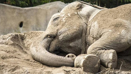 One of the 14 Asian elephants who got drunk in the garden of a deserted villa drinking 30 liters of corn wine