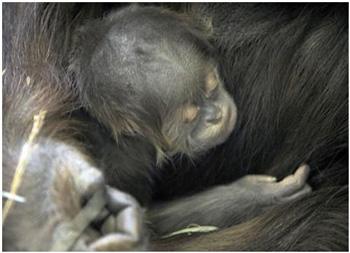 Una gorilla porta il cadavere del figlio