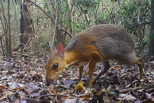 Cervo Topo del Vietnam (Credit: Southern Institute of Ecology. Global Wildlife Conservation. Leibniz Institute for Zoo and Wildlife Research)