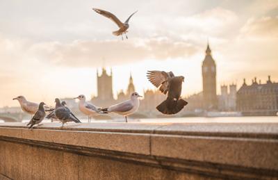 I colombi, spesso accusati della trasmissione della zoonosi